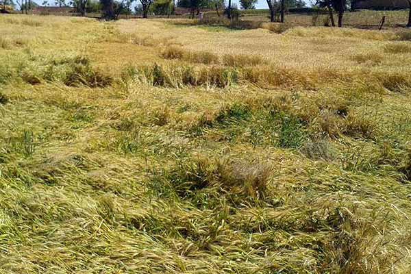 Central Gov's initiative to address the issue of crop damage because of recent unseasonal rains