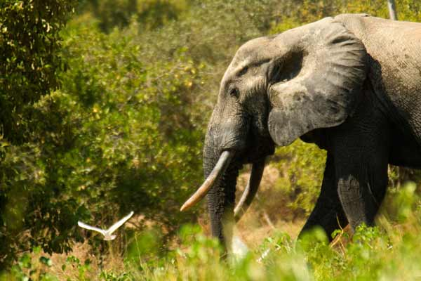 Despite positive trends, poaching of African elephants still 'unacceptably high' – UN-backed treaty